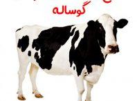 طرح پرورش و پرواربندی گوساله